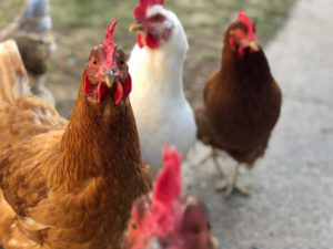 How to choose chickens for your backyard flock